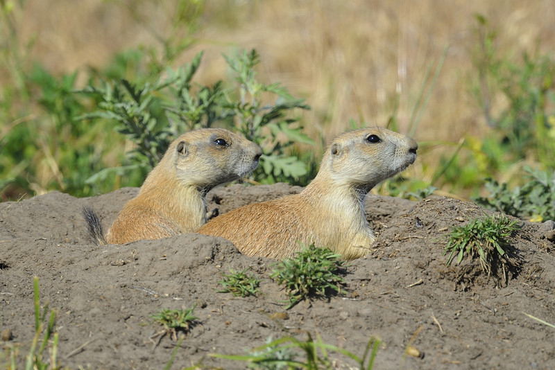 Two Prairie Dogs (Cynomys) in Fort Niobrara National Wildlife Refuge near Valentine, Nebraska