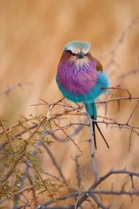 African Roller