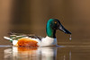 Northern Shoveler with water droplet