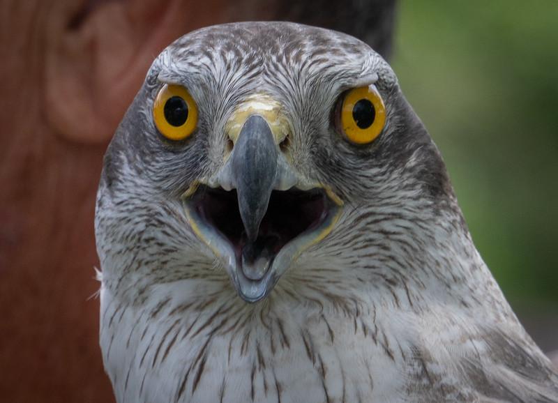 Raptor Closeup 2