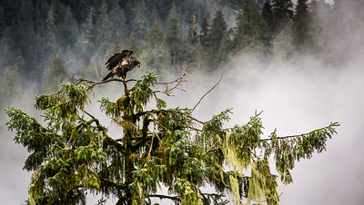Adolescent Bald Eagle in BC
