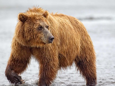 Coastal Brown Bear, Grizzly Bear