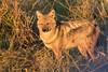 Side-striped jackal