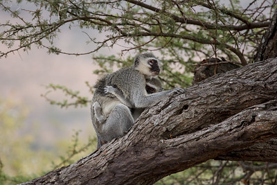 Vervet Monkey holds onto her baby, sitting in a thorn tree, KwaZulu-Natal