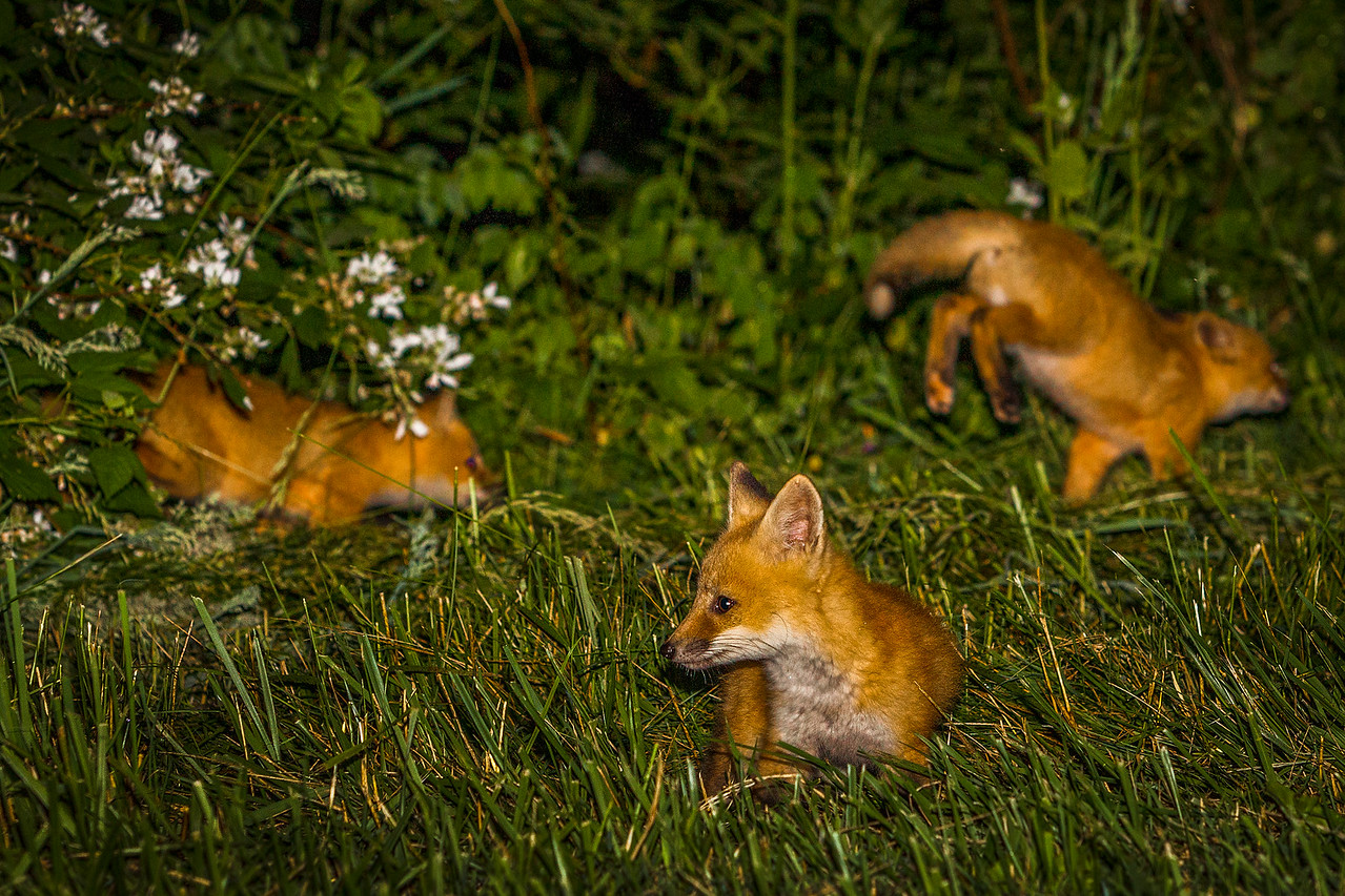 Blue Ridge Parkway Red Fox's