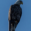 A Bald Eagle Perched On A Tower 4/25/20