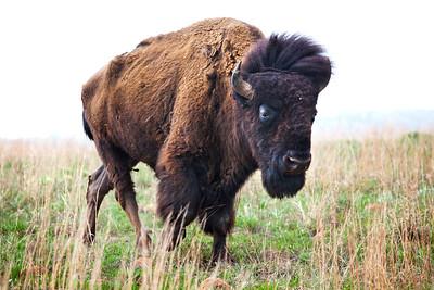 Wild Oklahoma Bison