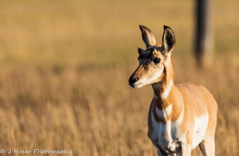 Closeup of young Pronghorn Antelope