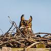Great Horned Owl 4/14/18