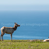 Tule Elk over the Pacific