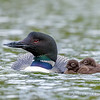 Adult Common Loon and Chicks