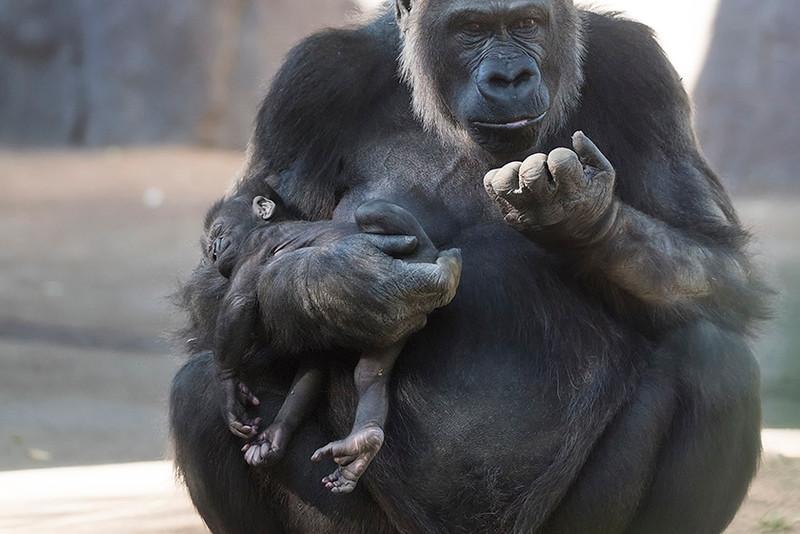 Mother Gorilla and her newborn