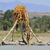 Giraffe Drinking at Watering Hole, Kenya, East Africa
