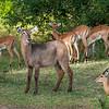 Waterbuck, Common (F) & Impala