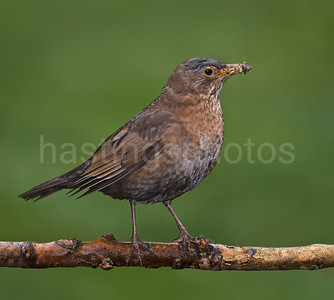 Blackbird female with grubs