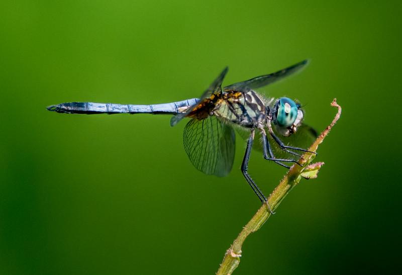 Blue Skimmer Dragonfly 7/16/16