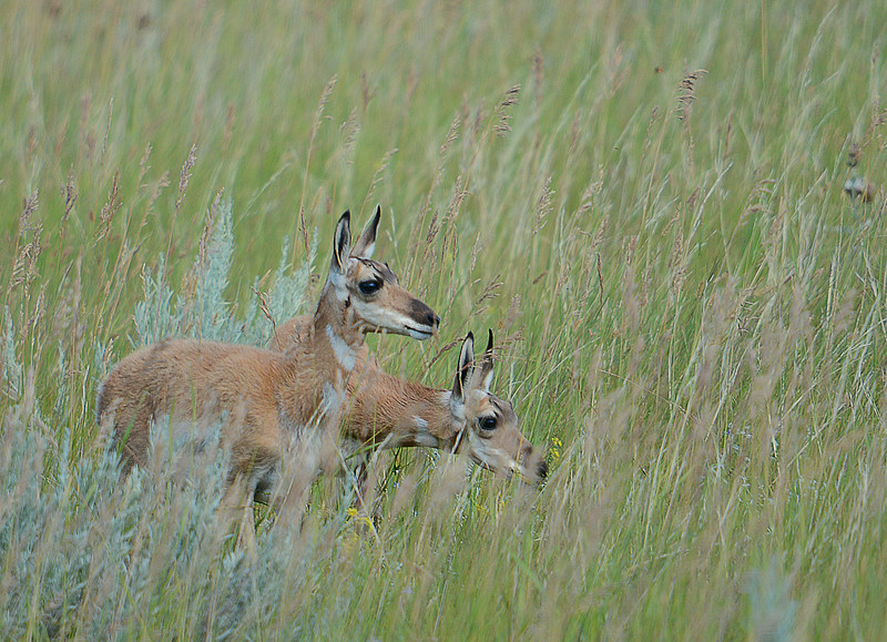 Pronghorn Antelope, SD