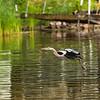 Great blue Heron landing in Mississippi lake.
