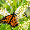 Monarch Butterfly and Wasp 7/27/16