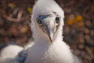 A curious baby Nazca booby - Isla Genovesa