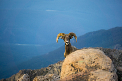 Bighorn Sheep in Colorado Mountains
