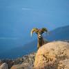 Bighorn Sheep in Colorado Mountains