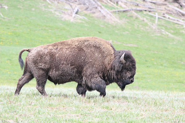 A mud matted bison crosses the plains of Yellowstone for greener pastures.