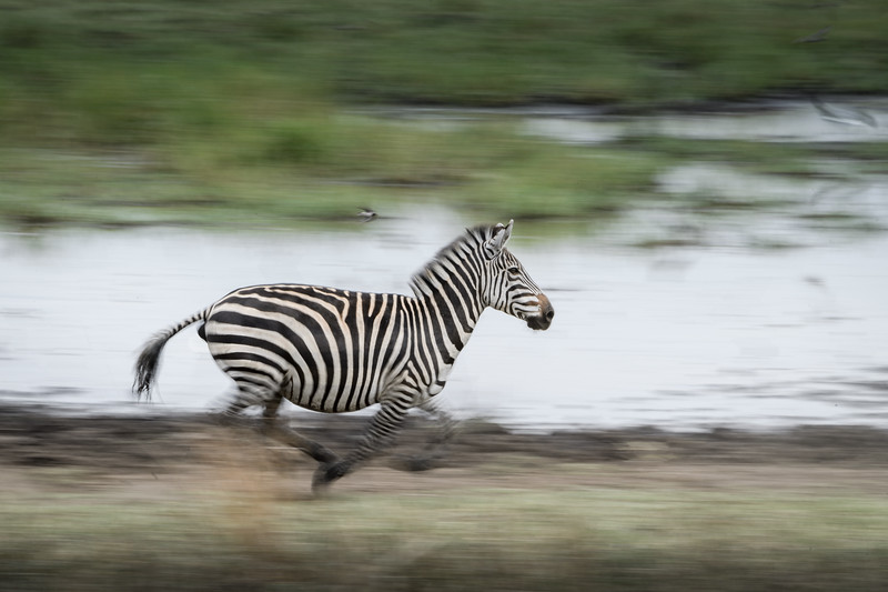Zebra leaving the watering hole, Tarangire National Park, Tanzania, East Africa