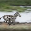 Zebra leaving the watering hole, Tarangire National Park, Tanzania, East Africa