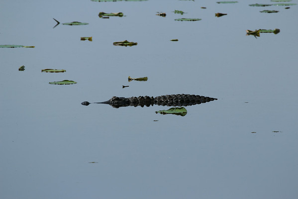 A small alligator floats amongst the Lily Pads at Lake Eufaula.