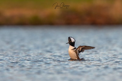 """Hooded Merganser"""