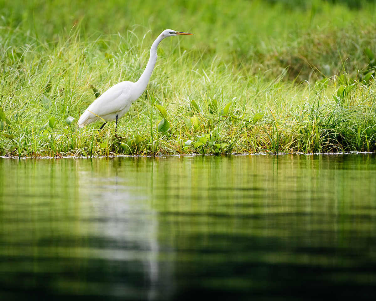 Egret at the lake's edge.  Honduras 2016.