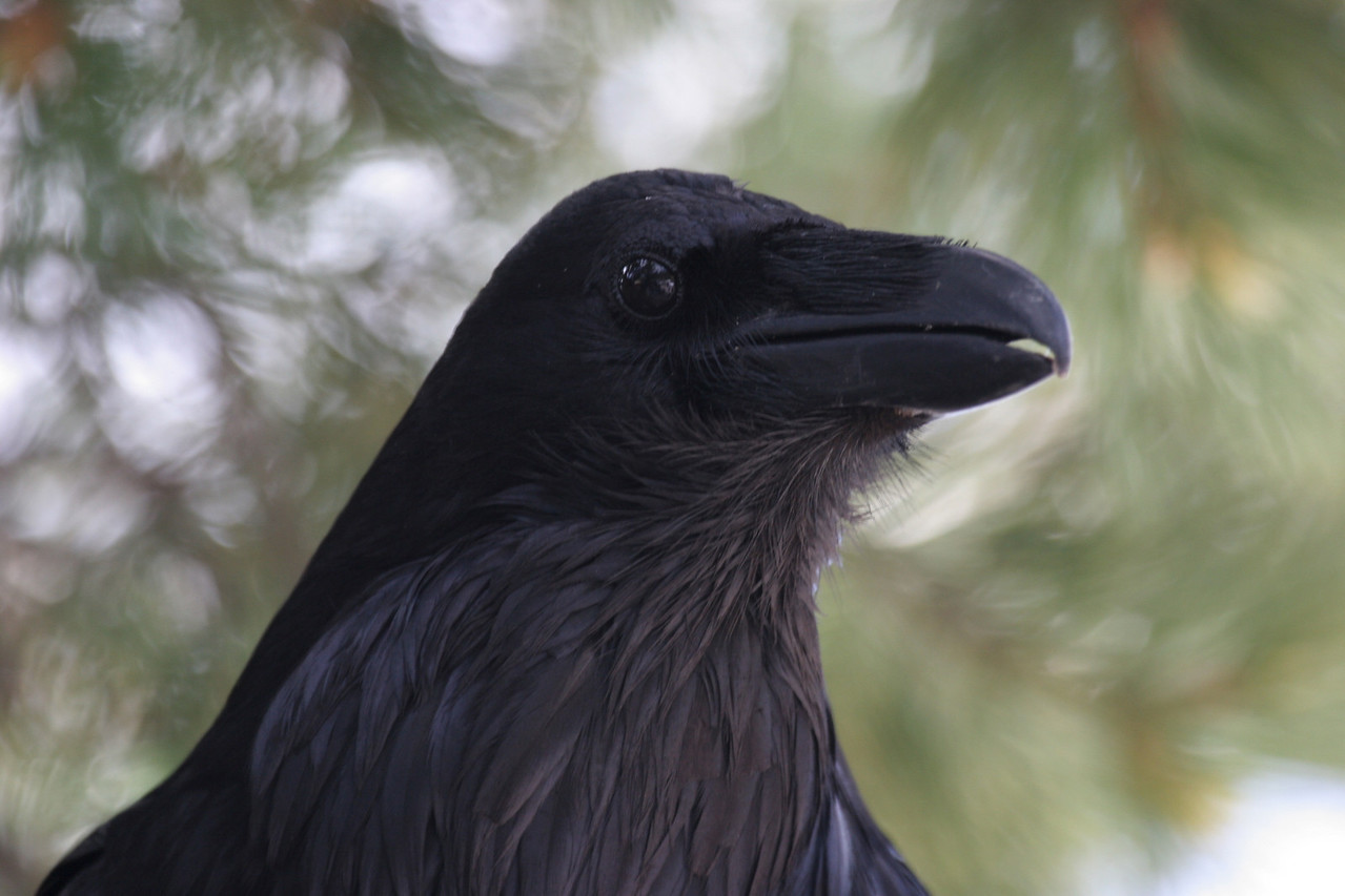 Raven - Yellowstone National Park
