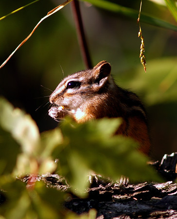 Michigan Chipmunk - Naubinway