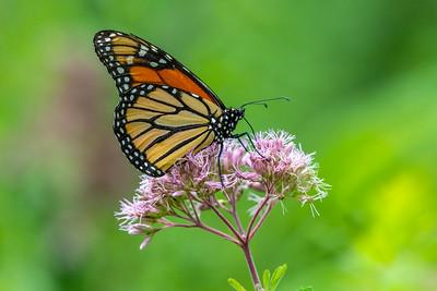 Monarch Butterfly On A Flower 8/6/19