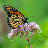 Monarch Butterfly On A Flower 8/6/19