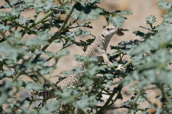 Desert Iguana, Joshua Tree