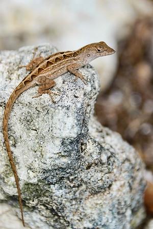 Florida Scrub Lizard Sceloporus woodi