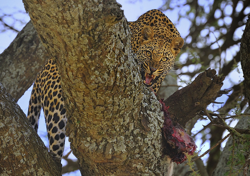 Leopard eating in tree, Tanzania, East Africa