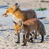 A Red Fox Kit With Mama 5/18/21