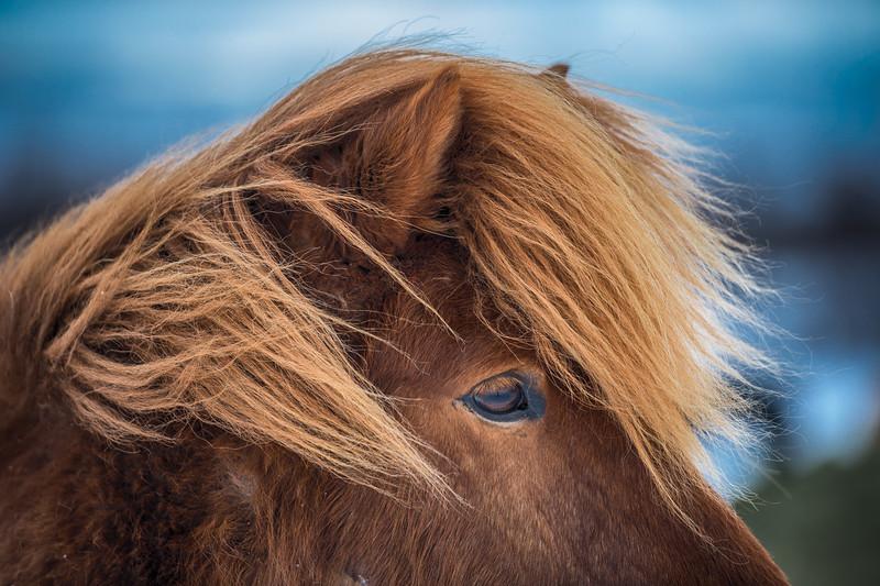 Icelandic horse closeup, Iceland
