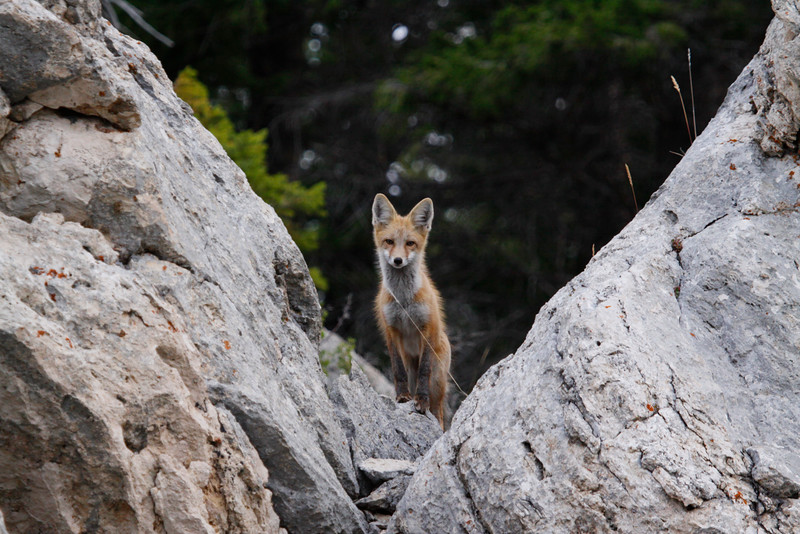 Red Fox - Yellowstone National Park