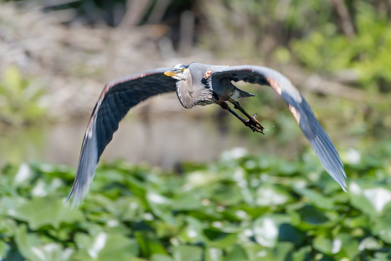 265- Great Blue Heron