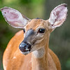 A Young Deer 7/27/16