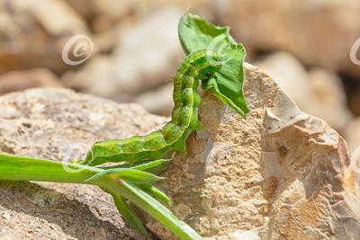 Green and Yellow Moth Larva