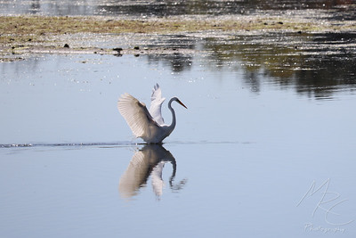 Great Egret After Landing in Water