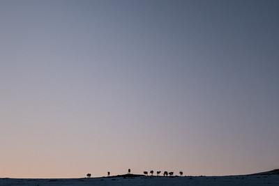 A small herd of caribou are silhouetted by midnight ligh on Alaska's North Slope. Caribou are the main food source for North Slope wolverines.