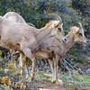 Young Male and Female Desert Bighorns