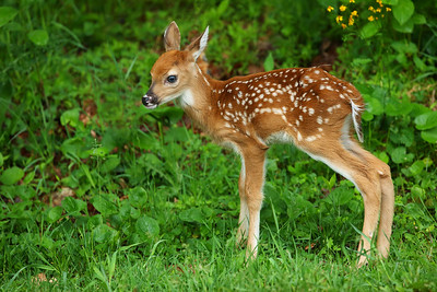 Cute White-tailed Deer Fawn, Shenandoah National Park