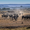 Wildebeests and Zebras on their way to the Mara River, Masai Mara, Kenya, East Africa